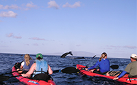 Hawaiian Paddle Sports - Whale Watching